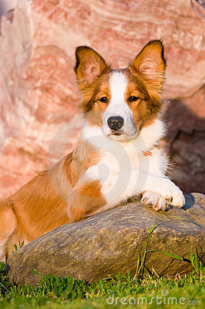 Free Portrait Of Young Border Collie Puppy In Sunset Royalty Free Stock Photography - 20255877