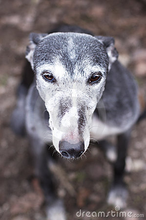 Portrait of old rescued grey-haired greyhound