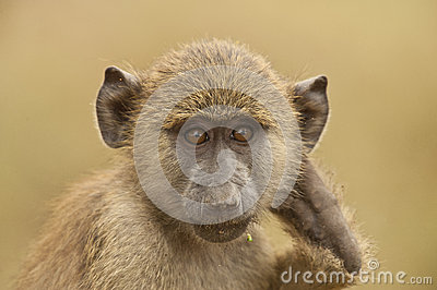 Portrait of an olive baboon