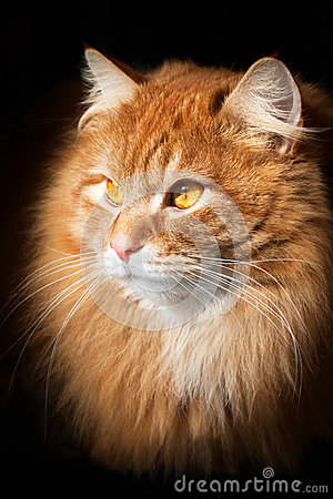 Portrait of an orange cat, isolated on black background