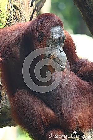 Portrait of an Orangutan