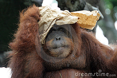 Portrait of orangutan