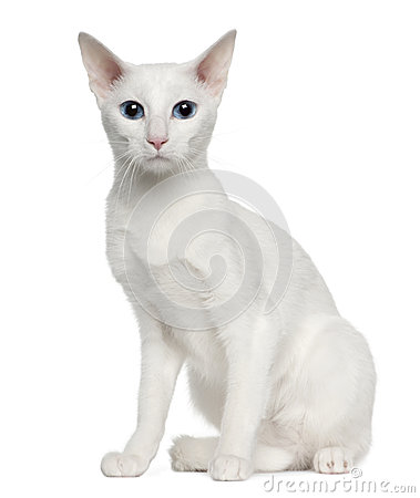 Portrait of Oriental Shorthair cat