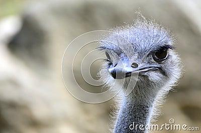 Portrait of Ostrich