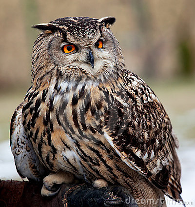 Portrait of an owl