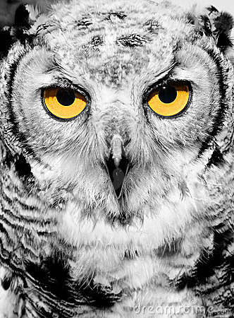 Portrait of owl