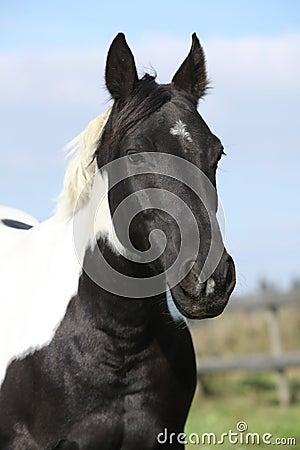 Portrait of paint horse mare