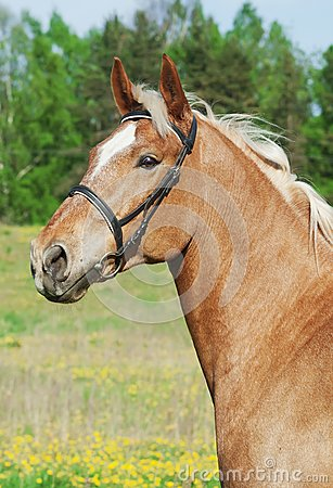 Portrait of palomino cart horse in spring field