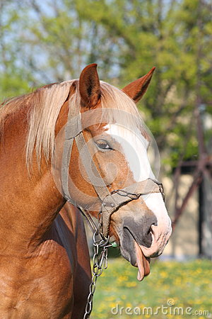 Portrait of palomino horse showing tongue