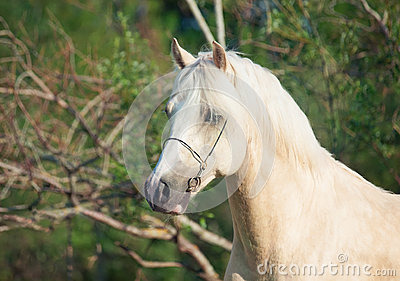 Portrait of palomino welsh pony stallion