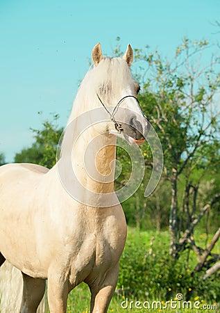 Portrait of palomino welsh pony stallion