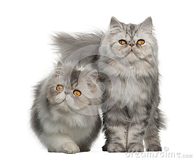 Portrait of Persian cat, 7 months old