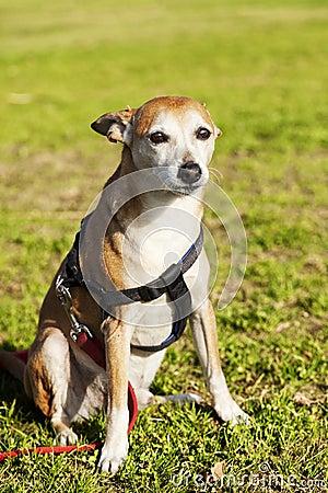 Pinscher Dog Portrait at the Park