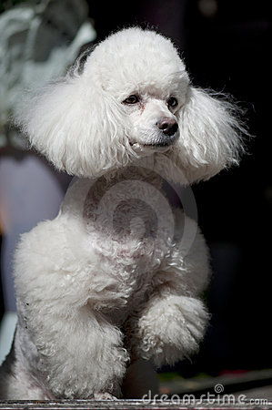 PORTRAIT OF POODLE
