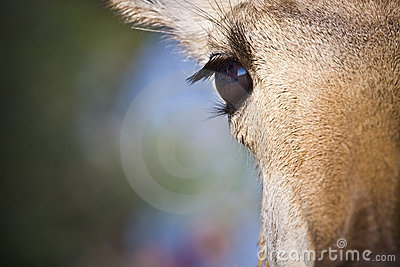 Portrait of Pronghorn Antelope