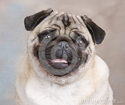 Portrait Of A Pug Dog Royalty Free Stock Photo - Image: 24484135
