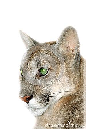 Portrait of the puma.