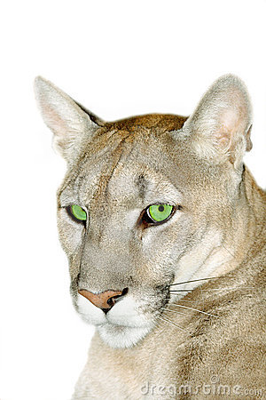 Portrait of puma