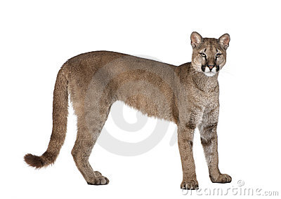 Portrait of Puma cub, Puma concolor, 1 year old