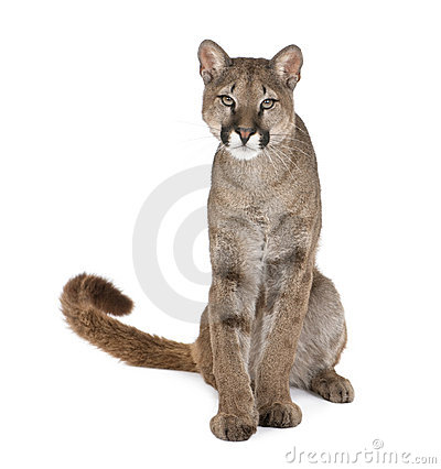 Portrait of Puma cub, Puma concolor