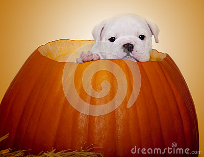Portrait of a puppy in a pumpkin