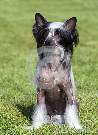 Portrait of  purebred, CHINESE CRESTED DOG