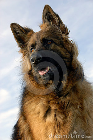Portrait of a purebred german shepherd