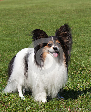 Portrait of purebred Papillon dog