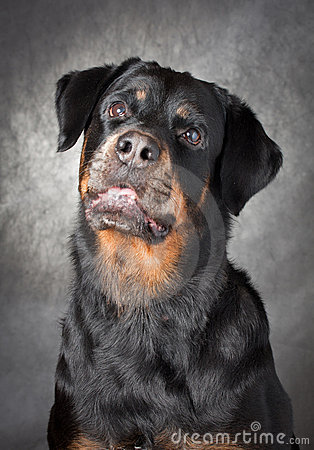 Portrait of a purebred  rottweiler in studio.