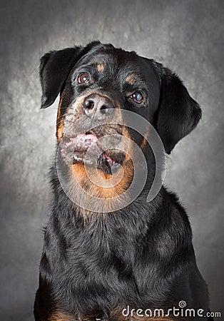 Portrait of a purebred  rottweiler in studio.