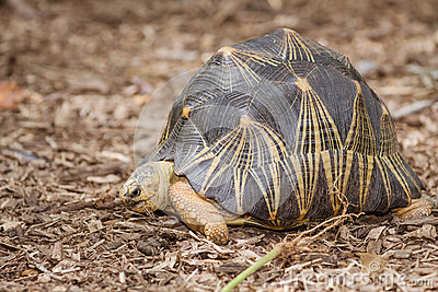 Portrait of radiated tortoise