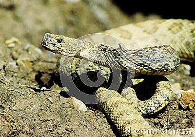 Portrait of rattlesnake