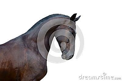 Portrait of raven stallion isolated