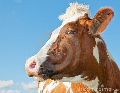 Portrait of a red cow against a blue sky