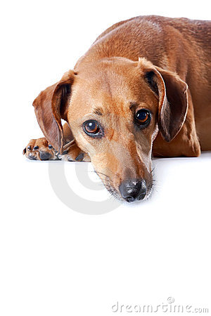 Portrait of the red dachshund