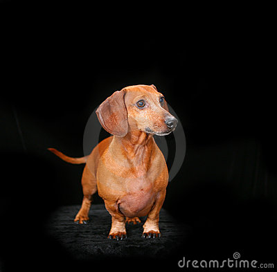 Portrait of a red dachshund