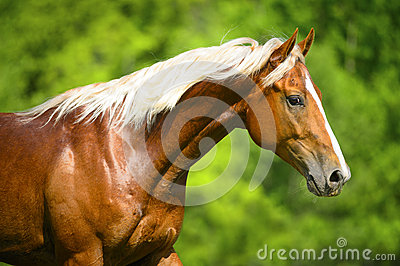 Portrait of the red horse with silver mane