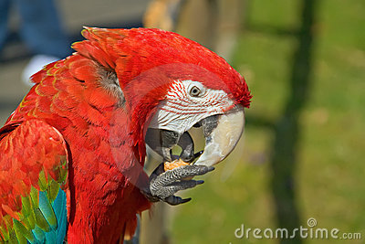Portrait of a red macaw parrot