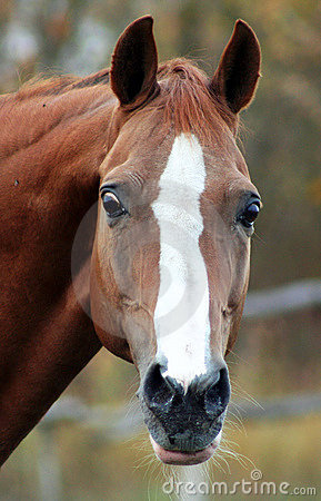 Portrait of a red stallion