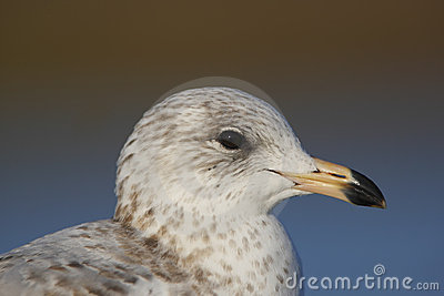 Portrait of a Ring-billed Gull
