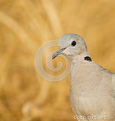 Portrait of Ring-necked Dove