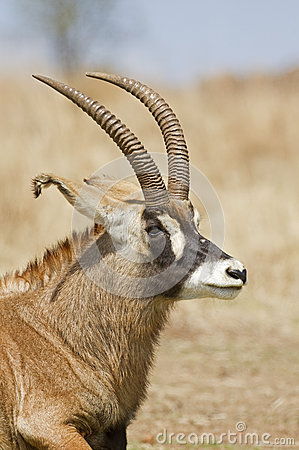 Portrait of Roan Antelope