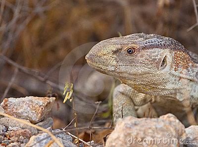 Portrait of a Rock Monitor