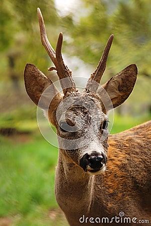 Portrait of roe buck