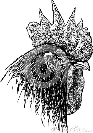 Portrait of a rooster