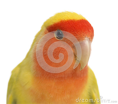 Portrait of Rosy-faced Lovebird
