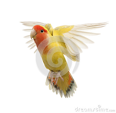 Portrait of Rosy-faced Lovebird flying