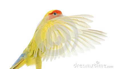 Portrait of Rosy-faced Lovebird flying