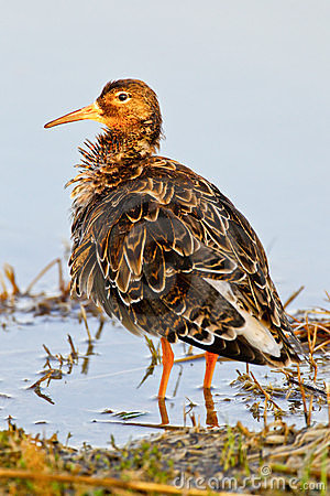 Portrait of a ruff