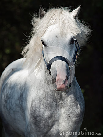 Portrait of  running gray  welsh pony at dark background